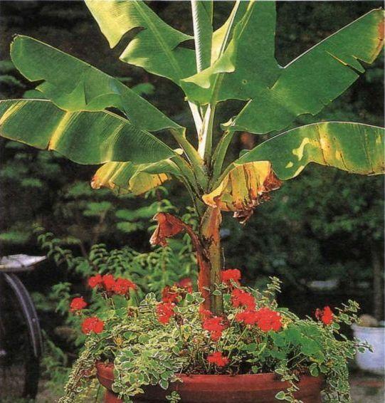 Банановые пальмы не только украшают интерьер, но и приносят плоды