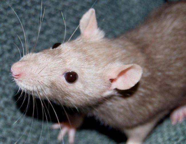 Как защитить свой дом от мышей