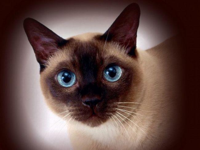 как назвать сиамскую кошку?