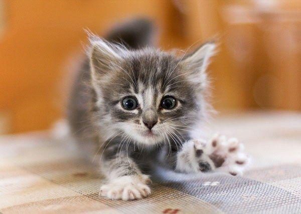 Когда давать котенку сухой корм