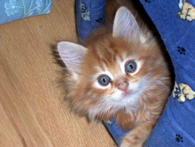 Панлейкопения кошек: причины, симптомы, лечение