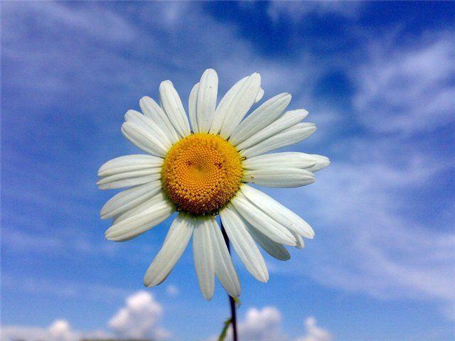 Ромашка: как нарисовать солнечный цветок