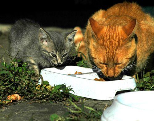 Как кормить кота правильно