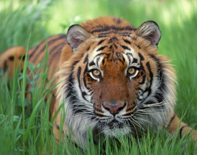 Как нарисовать морду тигра