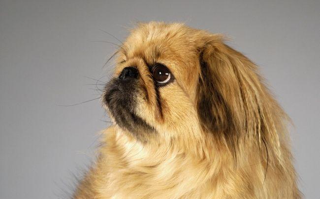 Как назвать собаку пекинеса