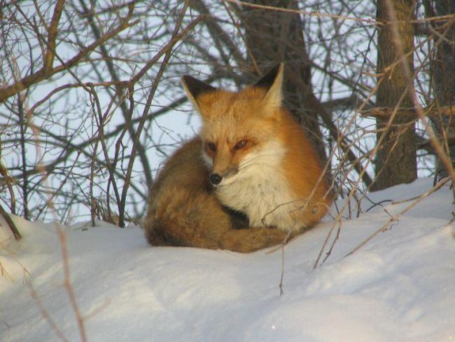 Как охотиться на лису