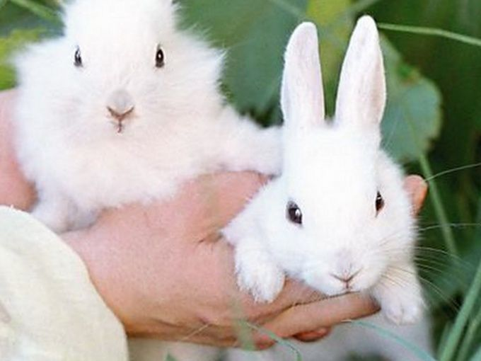 писька у самца кролика и у крольчихи видео или фото