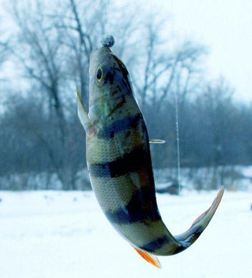 Как поймать зимой окуня