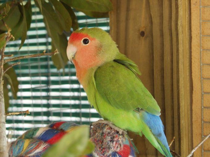Как приручить попугая неразлучника