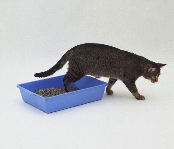 Как приучить котенка ходить на лоток