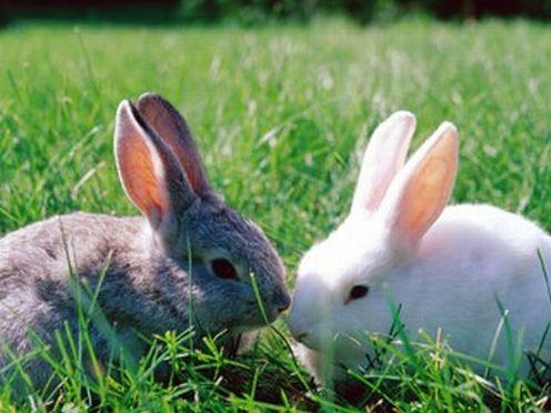 Как разводить домашних кроликов