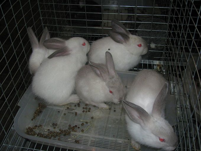 Как разводить кроликов в домашних условиях