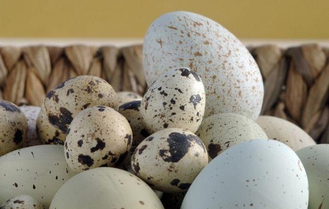 Как пить перепелиные яйца