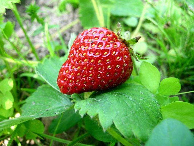 Как вырастить клубнику из семян