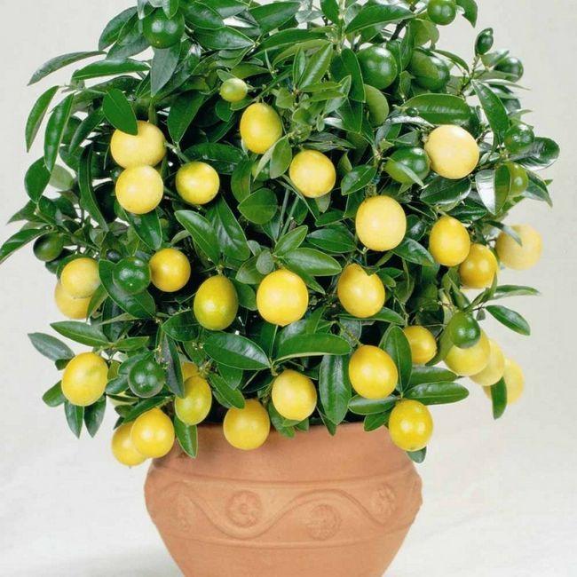 Лимонное дерево: как заставить его плодоносить